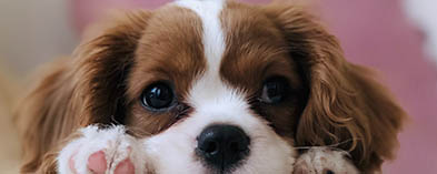 close up of puppy with brown and white face